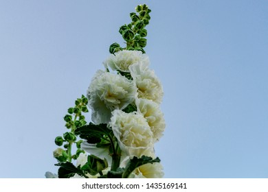 Alcea Rosea, a double form in white. They are popular garden ornamental plant. Also comonly known as Hollyhock. Close up of blooming hollyhock flowers with blue sky background.
