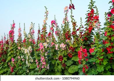 Alcea rosea or Hollyhock