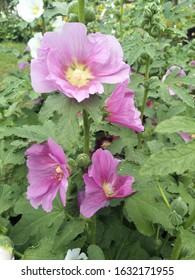 Alcea rosea, hollyhock, hollyhock in garden