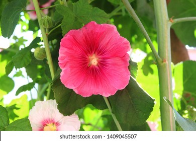 Alcea rosea, hollyhock is an ornamental plant in the Malvaceae family. Close up of hollyhock and blurred background.