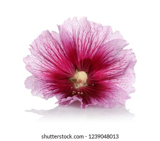 Alcea rosea, isolated pink hollyhock