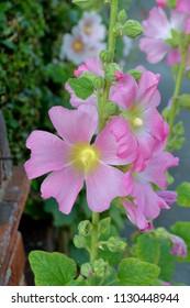 Alcea setosa - bristly hollyhock flower plant