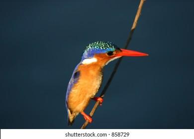 Alcedo cristata: Malachite kingfisher