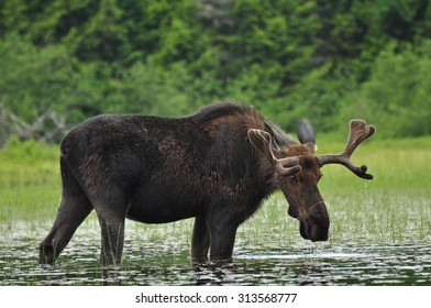 Alces Alces: A Moose standing in a lake in Algonquin National Park, Ontario, Canada