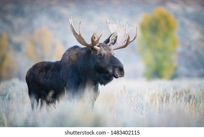 Alces alces shirasi, Moose, Elk is standing in dry grass, in typical autumn environment, majestic animal proudly wearing his antlers, ready to fight for an ovulating hind,Yellowstone,USA