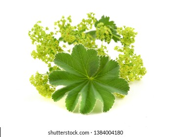 Alchemilla flowers isolated on white background.