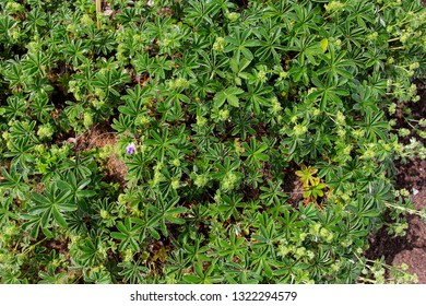 Alchemilla mollis, the garden lady's-mantle or lady's-mantle, is an herbaceous perennial plant