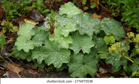 'Alchemilla vulgaris' or a common lady's mantle is a herbaceous plant found in Europe