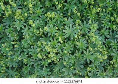 Alchemilla vulgaris or lady's mantle green foliage with yellow flowers background