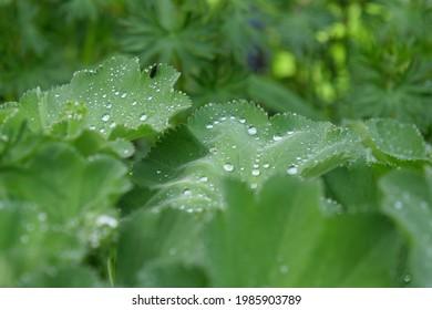 alchemilla xanthochlora closeup with dew drops in garden at Erlen Thurgau. CH Switzerland 15th May 2021