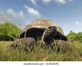 Aldabra Giant Tortoise (Aldabrachelys gigantea), Bird island, Seychelles, Africa