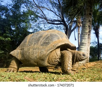 Aldabra Giant Tortoise (Aldabrachelys gigantea), Cousin island, Seychelles, Africa