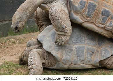 Aldabra Giant Tortoise - Aldabrachelys gigantea - Mating Pair