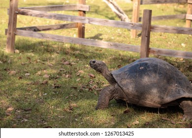 Aldabra Giant Tortoise Aldabrachelys gigantean is a large reptile from the islands of Aldabra Atoll in the Seychelles.