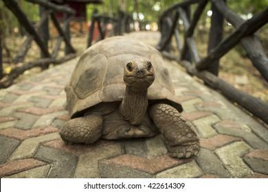 An Aldabra giant tortoise looks out from its shell on Prison Island off Zanzibar, Tanzania.