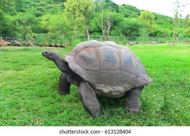 Aldabra Giant Tortoise in Nature