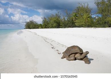 Aldabra giant tortoise on beach, Aldabra Atoll, Seychelles
