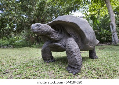 Aldabra Giant Tortoise  on an island in Seychelles