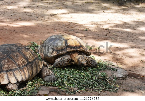 Aldabra Giant Tortoise ( Scientific Name: Geochelone gigantea)