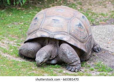 Aldabra Giant Tortoise, Seychelles tortoise