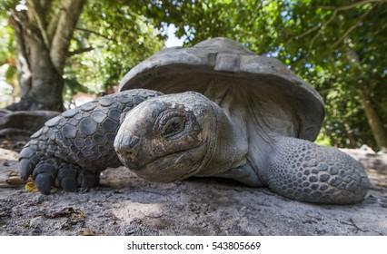 Aldabra Giant Tortoise  at tropical island in Seychelles