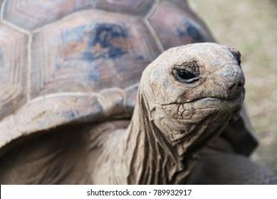 Aldabra giant tortoise, turtle, Rodgrigues Island Mauritius Cave Reserve Mascarene Island last surviving giant tortoise species, long lived over 100 years old 250kg, national parc françois leguat