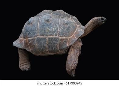 Aldabra Tortoise isolated on Black
