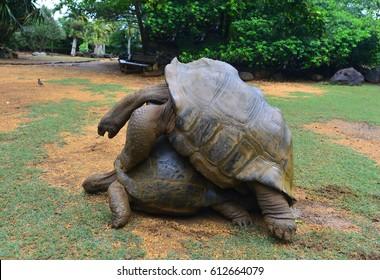 Aldabra Tortoise Mating