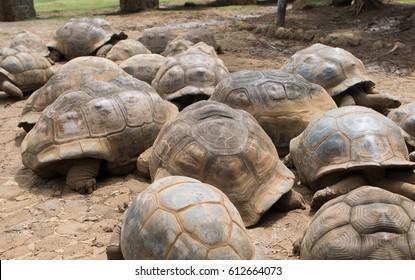 Aldabra Tortoise in Nature