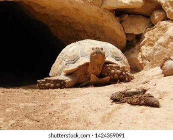 (Aldabrachelys gigantea) big turtle from marocco