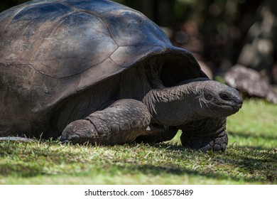 Aldabrachelys turtle in nature at seychelles island
