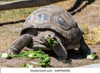 Aldabran Giant Tortoise (Geochelone gigantea) eating vegetables.