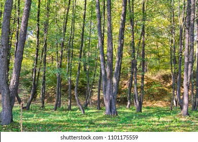Alder forest during summer day in Romania