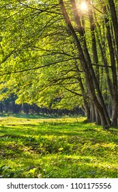 Alder forest during summer sunny day in Romania
