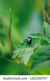 alder leaf beetle, agelastica alni