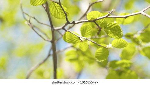 alder leaves in spring morning closeup