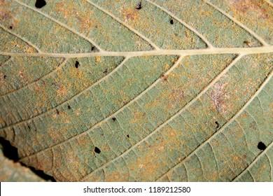 Alder rust (Melampsoridium hiratsukanum) on green leaf of Alnus incana or grey alder
