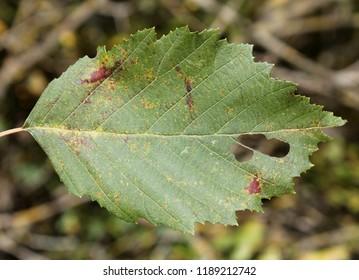 Alder rust (Melampsoridium hiratsukanum) on green leaf upper side of Alnus incana or grey alder