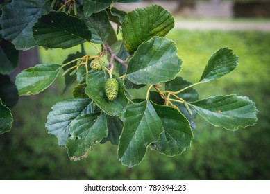 Alder tree branch with leaves and small cones