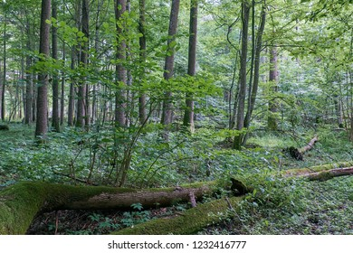Alder tree deciduous stand in summer, Bialowieza Forest, Poland, Europe