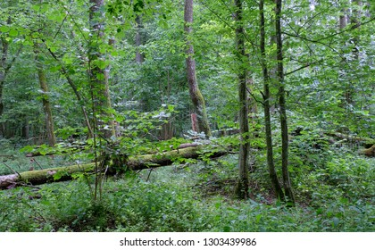 Alder tree deciduous stand in summer with herbs and ferns in foreground, Bialowieza Forest, Poland, Europe