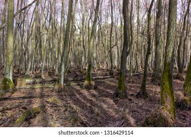 Alder tree swamp without water, Brandenburg.