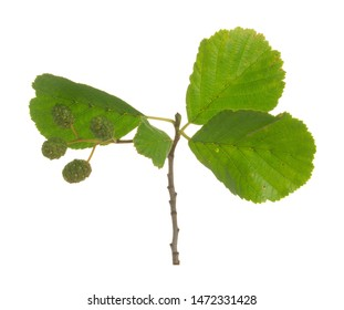 Alder twig with green cones isolated on white background