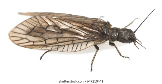 Alderfly isolated on white background