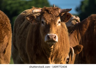 The Alentejana is a cattle breed from Portugal. The breed region is circumscribed almost exclusively to the Southern Portuguese Region of Alentejo, in both, High and Low Alentejo.