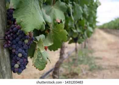Alentejo, Portugal - 2016: Vineyard in Alentejo