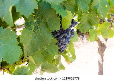 ALENTEJO, PORTUGAL - JULY 26, 2015: Grapes on a vineyard in Alentejo region, Portugal. Alentejo is a noted wine region just to the north of the Algarve