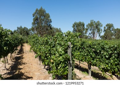 ALENTEJO, PORTUGAL - JULY 26, 2015: Vineyard in Alentejo region, Portugal. Alentejo is a noted wine region just to the north of the Algarve