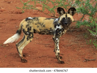 Alert African Wild Dog posing in the sand