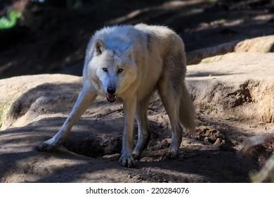 alert arctic wolf